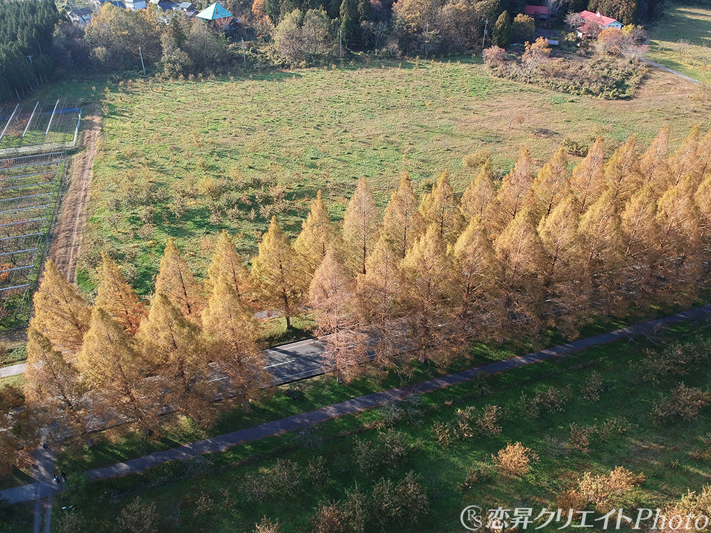 秋のマキノ高原メタセコイア並木・空撮