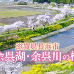 滋賀県長浜市「余呉の桜」/空撮